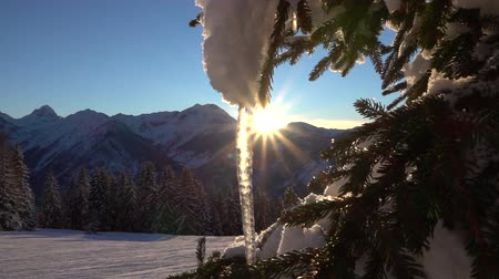 сосулька : SLOW MOTION CLOSE UP: Stunning view of big frozen icicle hanging down from spruce branch on amazing sunny winter morning. Magical golden sun rising behind high rocky mountains in the backgrounds