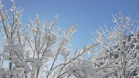 baldachin : AERIAL, CLOSE UP, LOW ANGLE: Flying around bare tree branches covered with fresh soft snow and ice glittering in warm winter sun. Big snowy and icy canopies shimmering on amazing sunny wintertime day