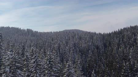 sklon : AERIAL: Flying above beautiful dense snowy conifer forest on amazing sunny wintertime day. Breathtaking scenery of green lush spruce treetops covered with fresh white snow blanket in winter wonderland