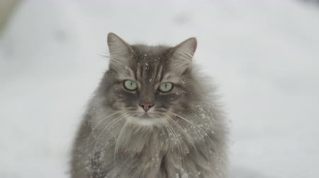 glorious : SLOW MOTION, CLOSE UP: Graceful grey cat with green eyes and long whiskers sitting in snowy garden and staring into distance. Soft snowflakes laying on beautiful kittys long fur on Christmas day Stock Footage