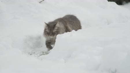 glorious : SLOW MOTION, CLOSE UP: Graceful grey cat wading in fresh white snow in snowy garden on magical Christmas day. Adult kitten sitting in ambush in backyard and observing stunning winter wonderland