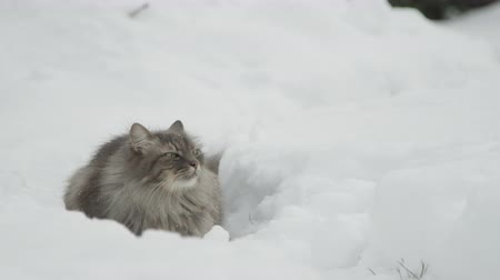gevreği : SLOW MOTION, CLOSE UP: Graceful longhaired grey cat laying in fresh white snow on stunning wintertime day, sniffing the air, looking into the sky and resting in beautiful and peaceful snowy garden Stok Video