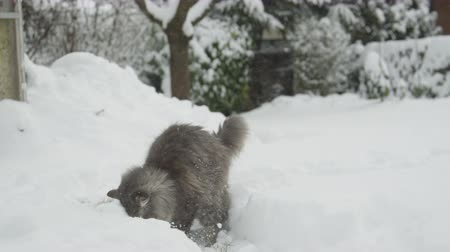 glorious : SLOW MOTION, CLOSE UP: Big snowball hitting beautiful fluffy grey cat in to the face. Surprised kitten standing in deep snow, looking into winter skies, playing with snowflakes and running away Stock Footage