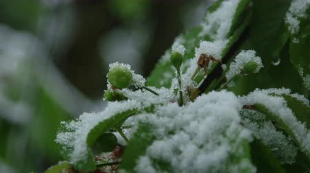 extreme close up : SLOW MOTION CLOSE UP, DOF: Snow falling on branch of unripe cherry fruit in extreme weather changing condition in springtime. Temperature fall damaging crop and harvest in agricultural tree plantation