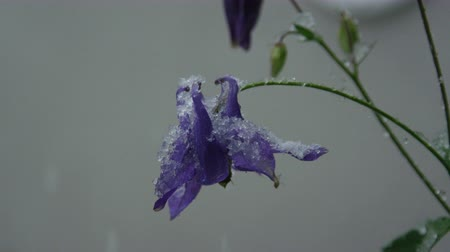 extreme close up : SLOW MOTION CLOSE UP: Beautiful blue flowers freezing, bending under heavy snow in spring. Temperature fall, extreme climate change and unstable weather as a result of global warming damaging plant Stock Footage