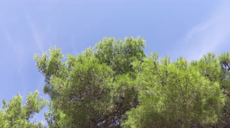 bulutsuz : CLOSE UP, LOW ANGLE VIEW: Stunning young green pine trees swinging in soft summer breeze and sunbathing on beautiful sunny summer day. Luxuriant Mediterranean vegetation growing in hot and dry climate Stok Video