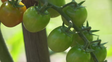 kertészeti : CLOSE UP DOF: Numerous beautiful green and orange ripening tomatoes delivered on small twig on home planted tomato plant in beautiful organic horticultural greenhouse garden. Amazing not ripe fruits