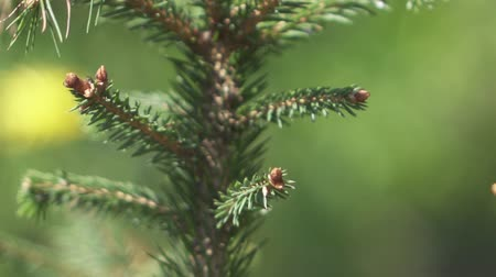 cam : CLOSE UP, DOF: Detail of amazing fresh young buds growing on beautiful spruce tree and sharp needles on evergreen Christmas tree. Natural lush pine tree top developing new branches in spring season Stok Video