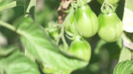 kertészeti : CLOSE UP DOF: Young green homegrown tomato plant growing in perfect condition horticultural greenhouse. Organic, home grown smallholding, delicious and tasteful tomatoes, vegetables and fruits in pot Stock mozgókép