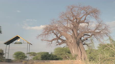 акация : LOW ANGLE VIEW, CLOSE UP: Beautiful mighty baobab tree growing near the Tarangire National Park safari game drive entrance gate on stunning sunny summer day. Lush acacia trees in hot African climate