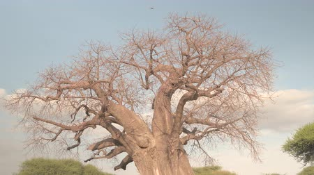 dead wood : CLOSE UP, LOW ANGLE VIEW: Beautiful baobab canopy without leaves against blue sky on stunning golden light sunny evening. Rough trunk protuberances and beautiful smooth grey cork bark on old tree Stock Footage