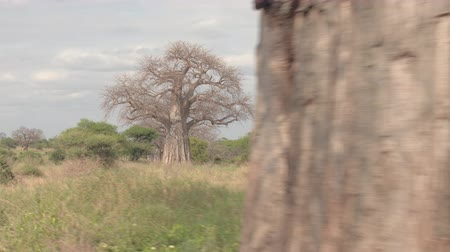 акация : CLOSE UP: Happy tourists on sightseeing game drive in beautiful arid African grassland and scenic woodland with rich vegetation, big mighty baobab trees and lush green acacia on stunning sunny day