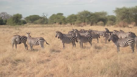 akát : CLOSE UP: Safari private game drive past herd of cute zebras pasturing on arid meadow field in beautiful African tropical savanna, exploring wilderness and observing wild animals in natural habitat Dostupné videozáznamy