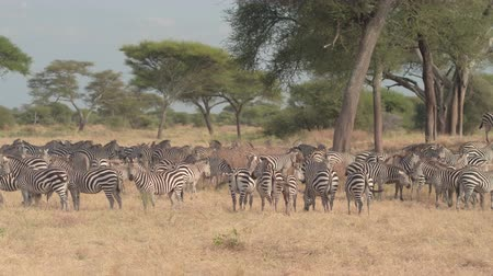 savanna : CLOSE UP: Herd of wild zebras gathering in the shade of lush green acacia tree canopy and grazing on arid African tropical savannah plain. Safari animals in wilderness in Tarangire National Park Stock Footage