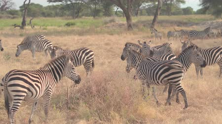 woodland : CLOSE UP: Big herd of wild zebras living in natural habitat in hot arid African savannah, foraging on dry grass and relaxing on vast plain field in beautiful woodland in Tarangire National Park safari Stock Footage