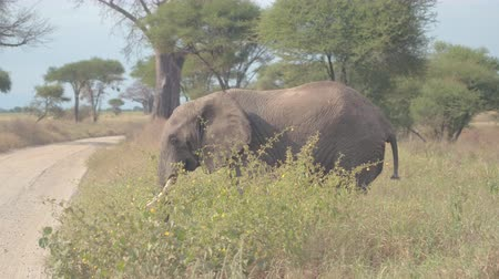 savana : CLOSE UP: Magnificent wild elephant in African tropical savanna crossing dusty safari route road during game drive through spectacular wilderness in lovely wildlife resort Tarangire National Park Stock Footage