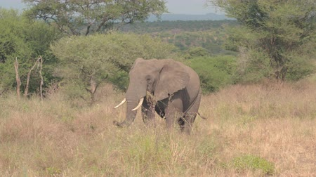besleme : CLOSE UP: Magnificent wild elephant in natural habitat in African tropical savanna feeding grass with trunk walking in spectacular wilderness in lovely safari wildlife resort Tarangire National Park Stok Video