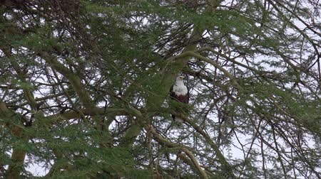 diken : CLOSE UP: Magnificent African fish eagle hunting waiting hidden in ambush in lush acacia tree canopy. Stunning bird of prey in wilderness, sitting on branch in natural habitat, Tarangire National Park