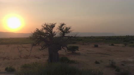 pláně : AERIAL CLOSE UP: Flying around stunning big old baobab tree on arid plains of African savannah in beautiful Tarangire National Park. Picturesque landscape with mountains in background at golden sunset Dostupné videozáznamy