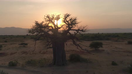 bushland : AERIAL CLOSE UP: Flying towards stunning big old baobab tree on arid plains of African savannah in beautiful Tarangire National Park. Picturesque scenery with mountains in background at golden sunset