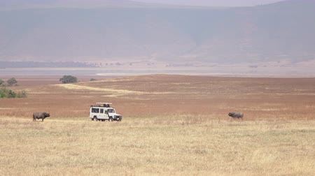 местность : Safari truck on touristic game drive stopping on savannah plain field near magnificent buffalos pasturing on arid grassland in Ngorongoro conservation reserve. Hot air causes mirage effect