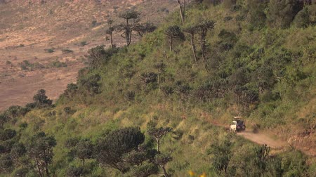 bushland : AERIAL, CLOSE UP: Safari jeeps full of tourists on game drive to Ngorongoro volcanic caldera, wildlife sanctuary. Vehicles driving on steep volcano crater wall overgrown with euphorbia bussei trees