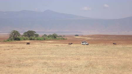 bushland : CLOSE UP: Safari truck on touristic game drive stopping on savannah plain field near magnificent buffalos pasturing on arid grassland in Ngorongoro conservation reserve. Hot air causes mirage effect