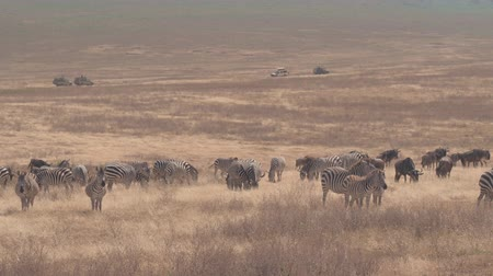 кальдера : CLOSE UP: Herd of zebras and gnus feeding in wilderness on vast arid savannah grassland field in beautiful Ngorongoro conservation area. Touristic safari jeeps game driving tourists in the background Стоковые видеозаписи