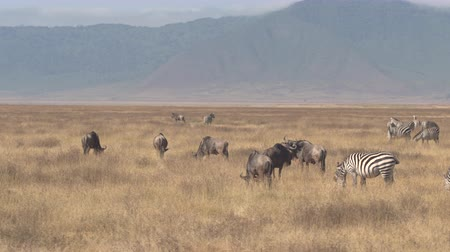 кратер : AERIAL CLOSE UP: Flying above numerous herd of magnificent wildebeests and wild zebras migratory animals pasturing on arid savannah grassland wilderness in breathtaking Ngorongoro game reserve, Africa Стоковые видеозаписи
