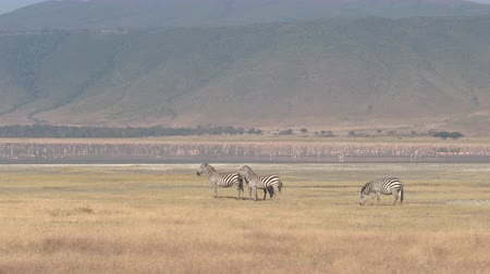 flamingi : AERIAL CLOSE UP: Zebras feeding on grass on big plains of African savannah grassland near colorful vivid wild flamingos swimming in lake Magadi and flying above wilderness, Ngorongoro Crater, Tanzania