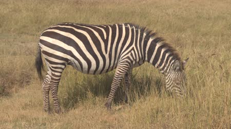 pláně : CLOSE UP: Detail of stunning pregnant zebra with beautiful fur pasturing in natural habitat in breathtaking wilderness on vast arid African savannah grassland in Ngorongoro Crater conservation area
