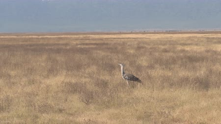 bustard : AERIAL, CLOSE UP: The largest flying bird in Africa - beautiful wild Kori bustard standing and foraging in natural habitat on vast arid savannah meadow field in breathtaking Ngorongoro national park