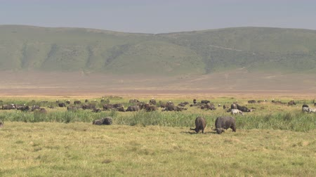 bushland : CLOSE UP: Big herd of African buffalos resting on vast plain savannah grassland field in Ngorongoro Crater. Game animals lying on sun on reach green meadow and relaxing in breathtaking wilderness Stock Footage