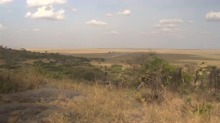 bushland : AERIAL: Flying above spectacular landscape - green acacia tree woodland and neverending vast savannah grassland plains in Serengeti National Park. In the distance safari jeep raising dust on dirt road Stock Footage