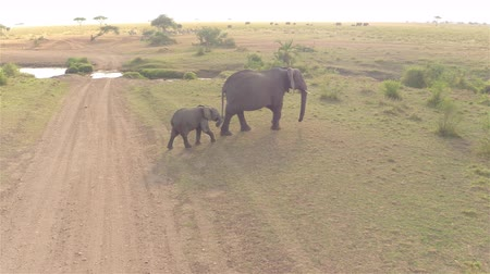 pláně : AERIAL, CLOSE UP: Flying above protective mother elephants followed by cute offspring crossing small brook in endless vast African savannah grassland field on sunny bright morning in the wilderness