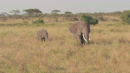 animal jovem : AERIAL, CLOSE UP: Flying above adorable baby elephants in elephant family grazing on grass on vast African savannah grassland field on sunny summer morning in the wilderness in safari game reserve