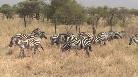 akát : CLOSE UP AERIAL: Flying around beautiful family of plains zebras grazing on dry tall grass on vast arid African savannah grassland and acacia woodland in Serengeti national park on beautiful sunny day Dostupné videozáznamy