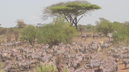 bushland : AERIAL, CLOSE UP: Flying above enormous lovely herd of wild zebras and cute offspring pasturing on dusty deserted savannah bushland and acacia tree woodland on hot sunny summer day in Tanzania, Africa