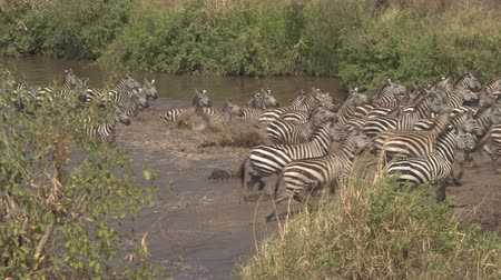 bushland : CLOSE UP: Wild zebras in numerous herd feeling threatened and suddenly start running out of mud waterhole in savannah woodland wilderness. Insecure young stallion senses danger and triggers the alarm Stock Footage