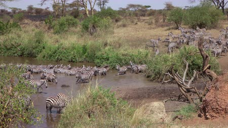 bushland : AERIAL, CLOSE UP: Flying near amazing wild zebras bathing and drinking from refreshing mud river in sunny savannah bushland in safari game reserve. Joyful offspring on riverbed playing on dusty field