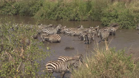 mud bath : CLOSE UP: Carefree wild zebras standing and bathing in refreshing mud lake, drinking water from puddle, relaxing on hot sunny day in African savannah bushland Serengeti game reserve wildlife sanctuary