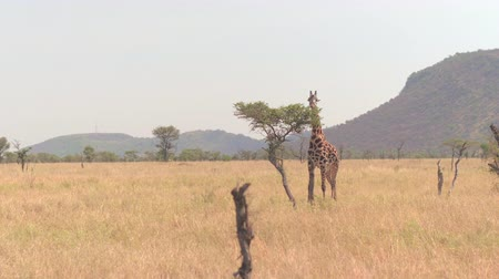 dikenli : CLOSE UP: Adorable lonely infant masai giraffe eating leaves, tearing foliage off small acacia tree canopy standing in dry open savannah woodland grassland on famous and spectacular Serengeti plains Stok Video