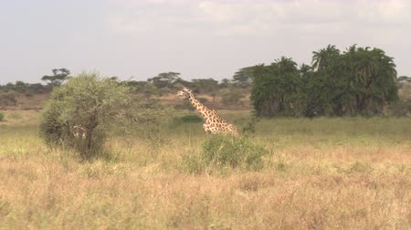 puxar : AERIAL: Lovely giraffe feeding on leaves on thorny tree canopy, young giraffa hiding in lush bushes in picturesque environment overgrown with green palm trees and acacias in African savannah grassland