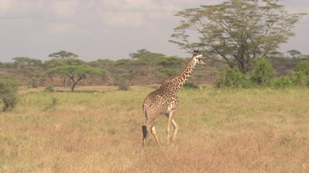 akát : CLOSE UP: Adorable young masai giraffe wandering in wilderness in lush overgrown savannah bushland and green acacia tree woodland in breath-taking Serengeti national park on amazing sunny summer day