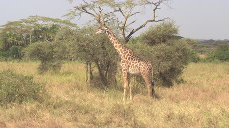 kafa yormak : AERIAL, CLOSE UP: Flying around adorable infant giraffes eating leaves, tearing foliage off small acacia tree canopy in picturesque open savannah woodland grassland on spectacular Serengeti plains Stok Video
