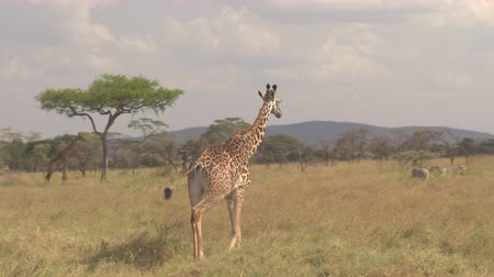 savana : AERIAL, CLOSE UP: Flying around adorable adult giraffa rumbling in tall savannah grassland in dry open woodland. Mixed animals foraging on vast flatland in sunny Serengeti national park, Tanzania
