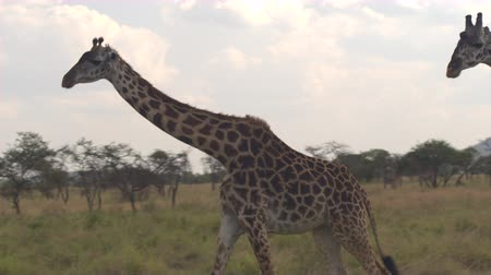 salya : CLOSE UP: Herd of wild giraffes grazing on lush low trees and green bushes in open field on savannah grassland woodland in beautiful Serengeti. Saliva running from the mouth of giraffa while rumbling