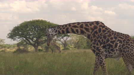 alcançando : CLOSE UP: Beautiful wild African giraffes bending necks when searching for food and feeding on grass on open savannah grassland woodland in breath-taking Serengeti national park, Tanzania, Africa Stock Footage