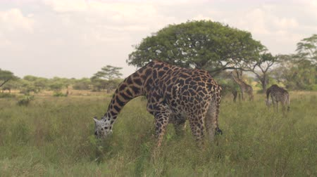 bushland : CLOSE UP: Beautiful tall wild African giraffe bending neck when pasturing on juicy semi-arid grass on vast open savannah grassland woodland in breath-taking Serengeti national park, Tanzania, Africa