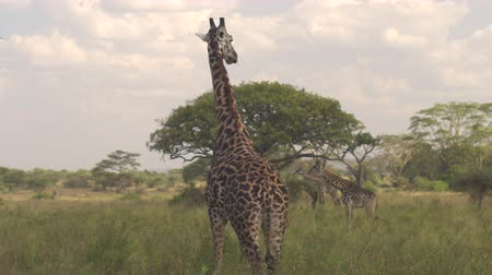 bushland : CLOSE UP: Beautiful giraffe on guard, standing tall, chewing fresh grass and turning head from left to right to spot predators. Giraffas grazing on big vast savannah grassland acacia woodland field Stock Footage